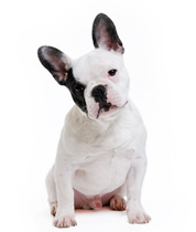 Acheter un chiot bouledogue fran ais la vente chez for Caracteristique anglais