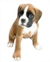 Acheter un chiot boxer la vente chez plan de campagne entre marseille et aix en - Dessin chien boxer ...