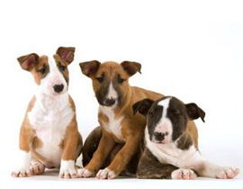 Acheter Un Chiot Bull Terrier A La Vente Chez Chiots Com A Plan De Campagne Entre Marseille Et Aix En Provence