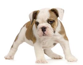 Acheter Un Chiot Bulldog Anglais à La Vente Chez Chiotscom à Plan